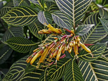 САНХЕЦИЯ БЛАГОРОДНАЯ (Sanchezia nobilis)