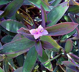 СЕТКРЕАЗИЯ ПУРПУРНАЯ (Setcreasea purpurea)