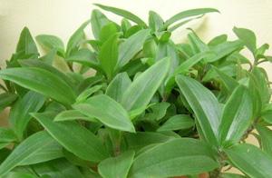 СЕТКРЕАЗИЯ ЗЕЛЕНАЯ (Setcreasia viridis)