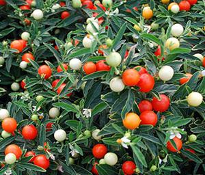 ПАСЛЕН ПЕРЦЕВИДНЫЙ (Solanum capsicastrum), или ЗВЕЗДЧАТЫЙ ПЕРЕЦ