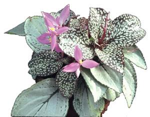 СОНЕРИЛА ЖЕМЧУЖНАЯ (Sonerila margaritacea)