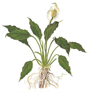 СПАТИФИЛЛУМ УОЛЛИСА (Spathiphyllum wallisii)
