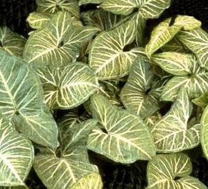 СИНГОНИУМ НОГОЛИСТНЫЙ (Syngonium podophyllum)