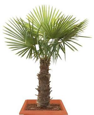 ТРАХИКАРПУС (Trachycarpus)