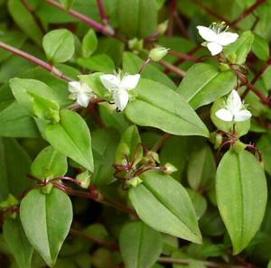 ТРАДЕСКАНЦИЯ БЕЛОЦВЕТКОВАЯ (Tradescantia albiflora)