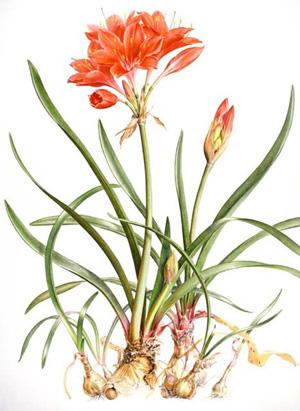 ВАЛЛОТА ПУРПУРНАЯ (Vallota purpurea)