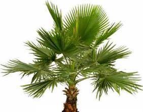 ВАШИНГТОНИЯ НИТЕНОСНАЯ (Washingtonia filifera)