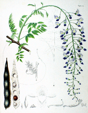 ВИСТЕРИЯ или ГЛИЦИНИЯ (Wisteria или Wistaria) sinensis floribunda