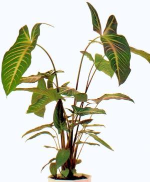 КСАНТОЗОМА (Xanthosoma Schott)