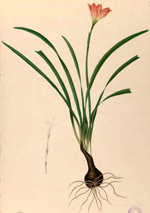 ЗЕФИРАНТЕС или ВЫСКОЧКА (Zephyranthes) (Rain Lily)