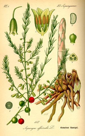 АСПАРАГУС (Asparagus), или СПАРЖА