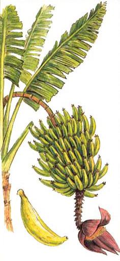 БАНАН (Banana)