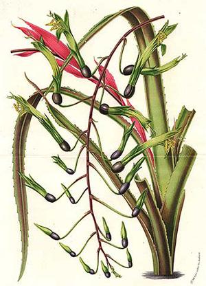 БИЛЬБЕРГИЯ ПОНИКЛАЯ (Billbergia nutans)
