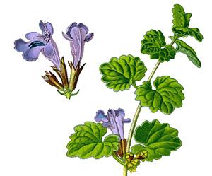 БУДРА ПЛЮЩЕВИДНАЯ (Glechoma hederacea) или КОТОВНИК