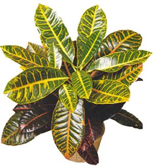 КОДИЕУМ (Codiaeum) или КРОТОН (Croton)