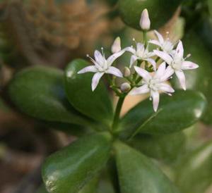 ТОЛСТЯНКА ДРЕВОВИДНАЯ (Crassula arborescens)