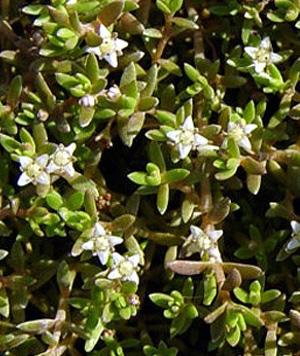 толстянка отогнутая (Crassula recurva)  КРАССУЛА