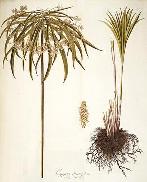 ЦИПЕРУС ОЧЕРЕДНОЛИСТНЫЙ (Cyperus alternifolius) (ЗОНТИЧНЫЙ), или СЫТЬ ОЧЕРЕДНОЛИСТНАЯ