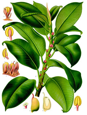 ФИКУС ЭЛАСТИЧНЫЙ (Ficus elastica)