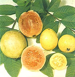 ГУАЯВА (Guava)
