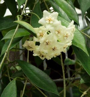 ХОЙЯ ДЛИННОЛИСТНАЯ (Hoya longifolia)