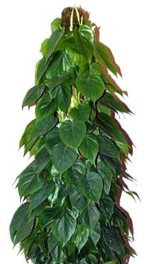 ФИЛОДЕНДРОН ЦЕПЛЯЮЩИЙСЯ (Phylodendron scandens)