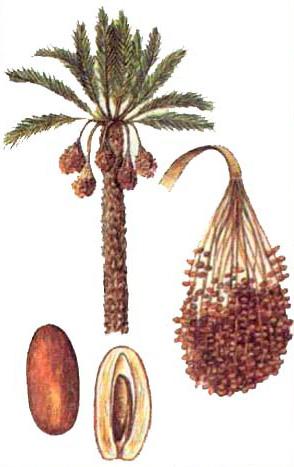 ФИНИК ПАЛЬЧАТЫЙ (Phoenix dactylifera)
