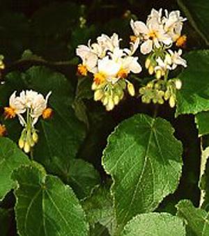 СПАРМАННИЯ АФРИКАНСКАЯ (Sparmannia africana)