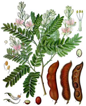 ТАМАРИНД ИНДИЙСКИЙ (Tamarindus indica)