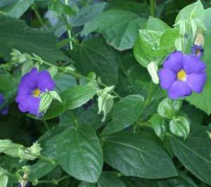 ТУНБЕРГИЯ КРУПНОЦВЕТНАЯ (Thunbergia grandiflora)